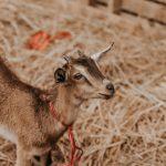 Petite chèvre naine dans un enclot avec de la paille